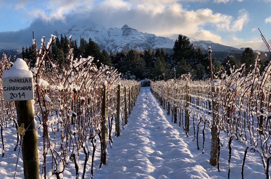 Chardonnay vines at Casa Yague, Trevelin, Patagonia, Argentina
