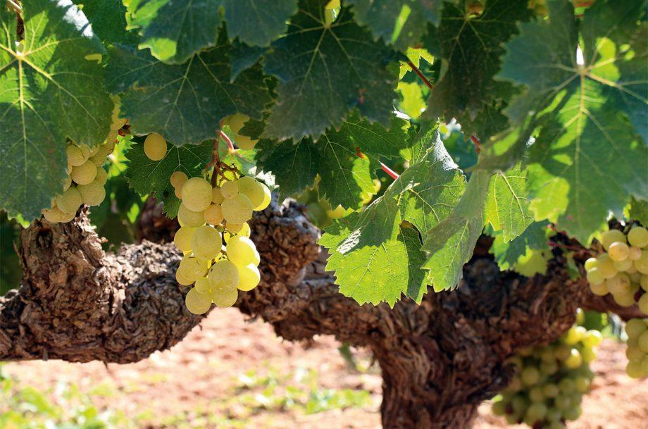 Moscatel Godelleta grapes