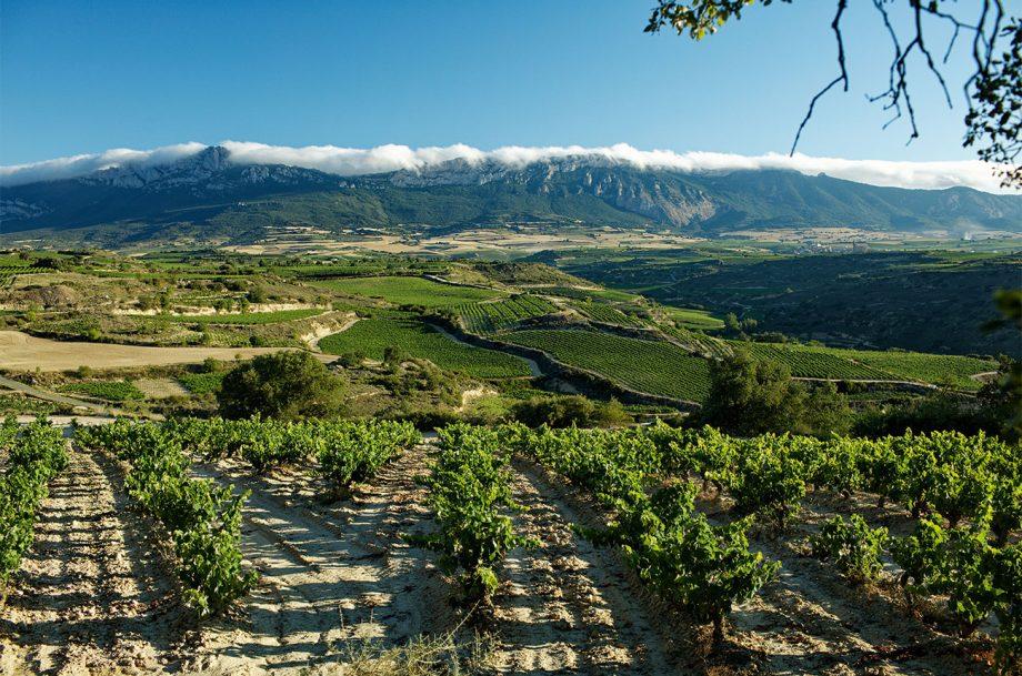 Olarra vineyard