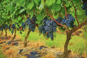 Tannat vines