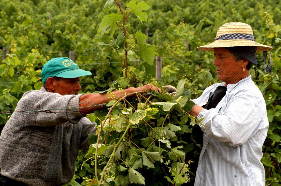 Bairrada Portugal vineyard harvest