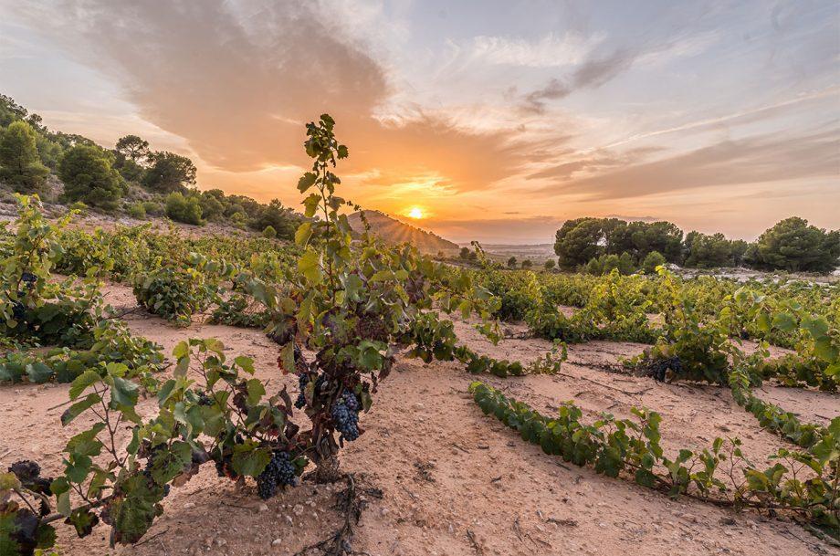 Jumilla vineyard
