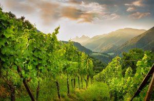 Vineyards in Tiso