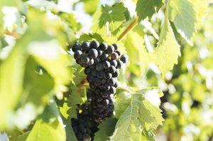 Tempranillo grape variety