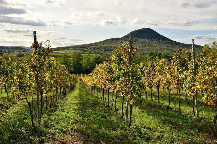 Hungarian vineyard