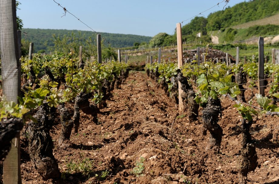 Terroir vines
