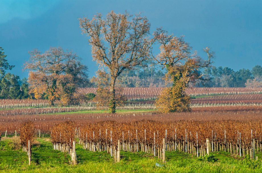 AOC Listrac vineyard