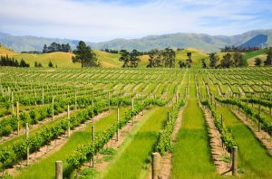 Young vines in the Marlborough region of New Zealand
