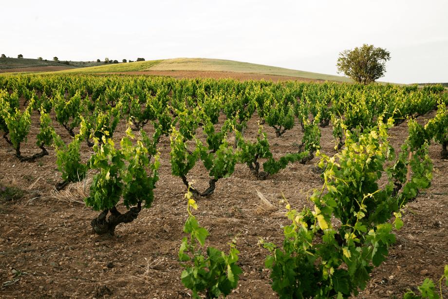Bush vines at the famed Pingus La Horra vineyards