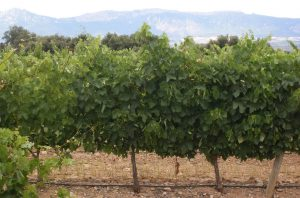 Rioja Tempranillo vines; Rioja crianza