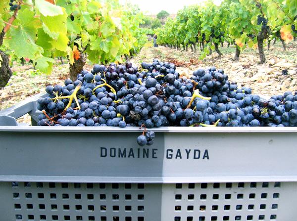 Domaine Gayda grapes