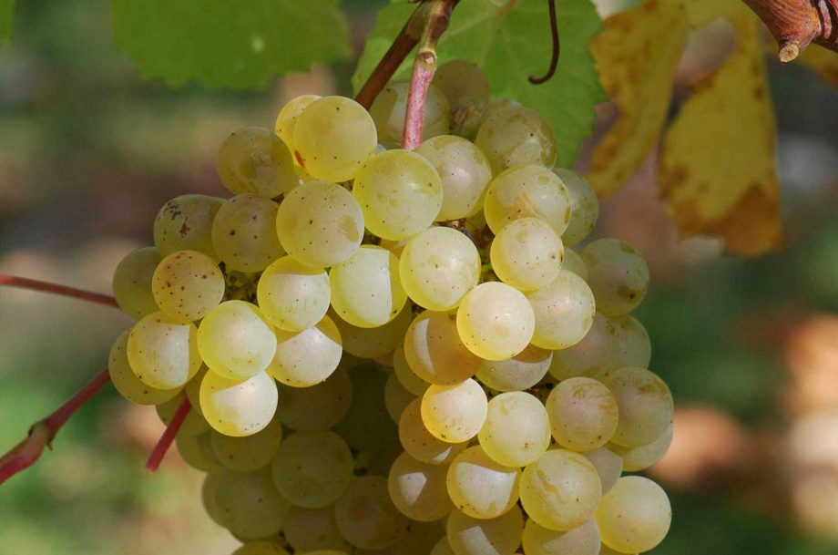 Chardonnay white wine grapes