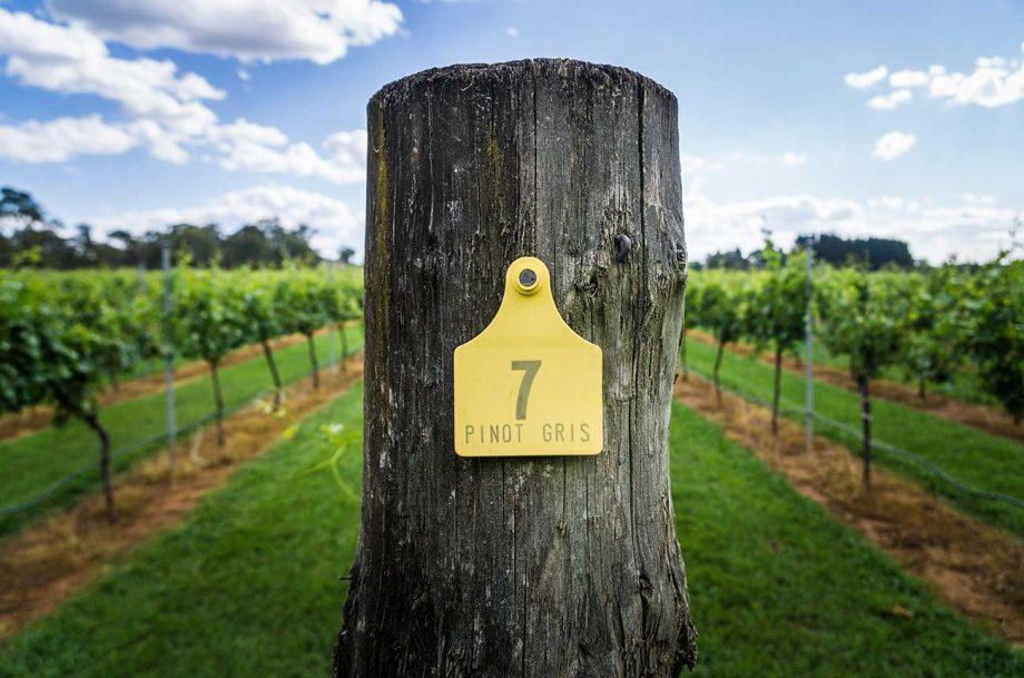 Pinot Grigio vs Pinot Gris: Pinot Gris grapes in Australia
