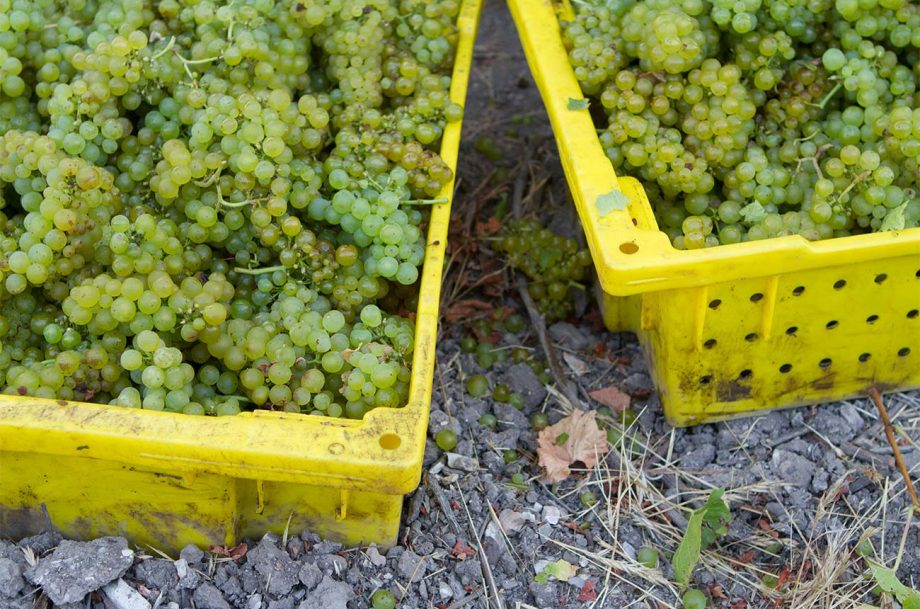 Harvested white wine grapes in California