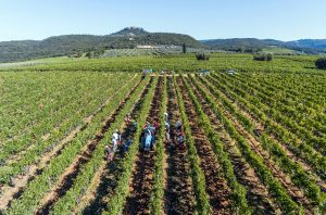 Brunello di Montalcino 2016 harvest