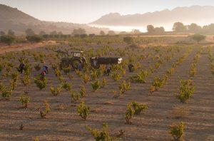 Jumilla vineyards