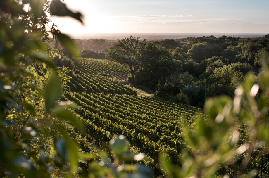 Ornellaia wines, vineyards in Bolgheri