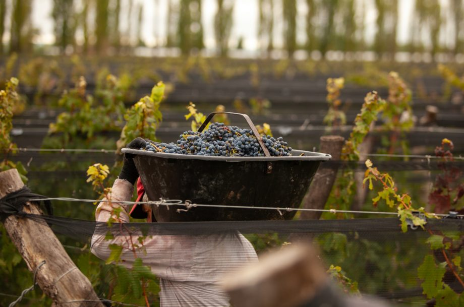 Worker carrying a box of grapes in the vineyard in Altamira in Argentina