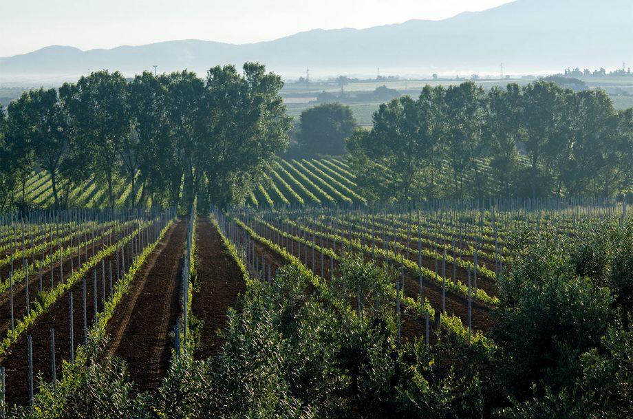 Casale del Giglio vineyards
