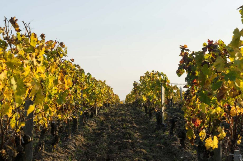 Vineyards in the MEdoc