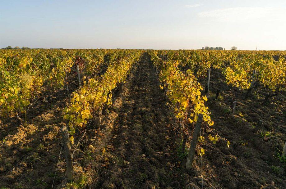 Vineyard in the Medoc