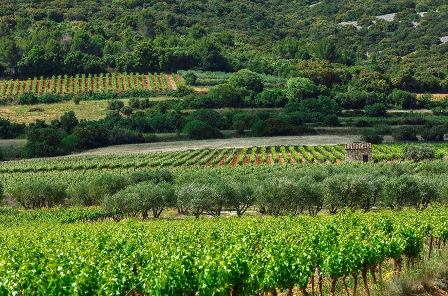 Vineyards near to Aniane in Languedoc, where Lauren Vaillé made wine.