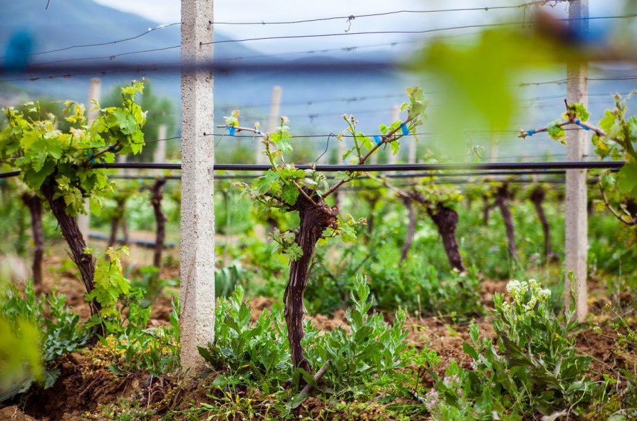 Vineyard in Macedonia