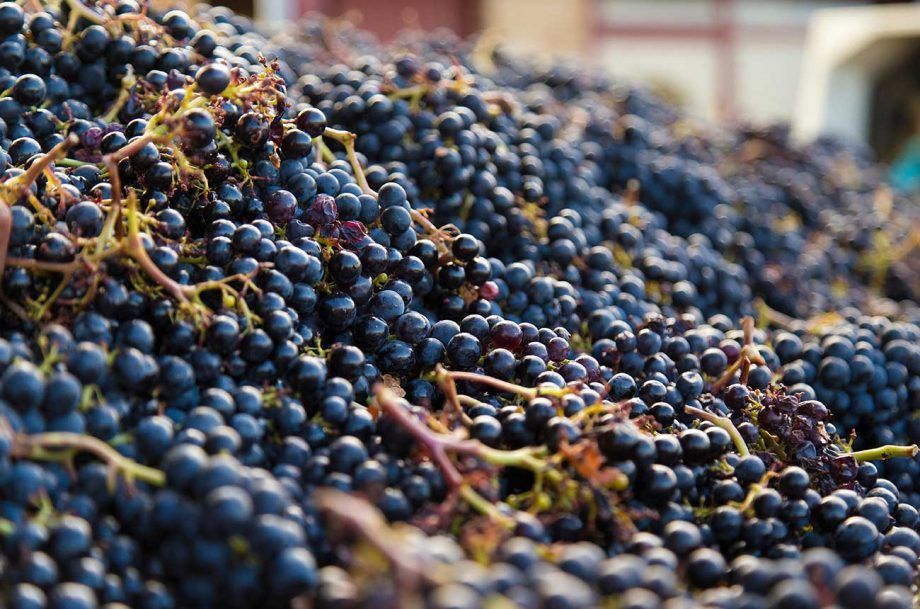 Malbec grapes in St-Emilion; Jane Anson shines a light on Bordeaux's single-variety wines.
