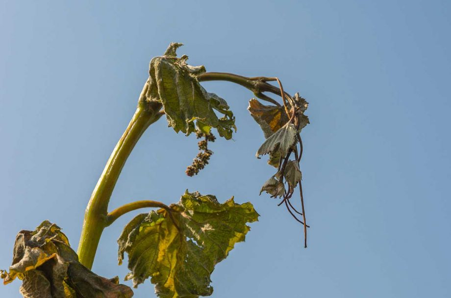 A vine damaged by frost in Italy in 2017; new research links climate change to frost damage in vineyards.