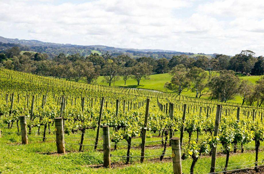 Vineyards in Adelaide Hills, Australia