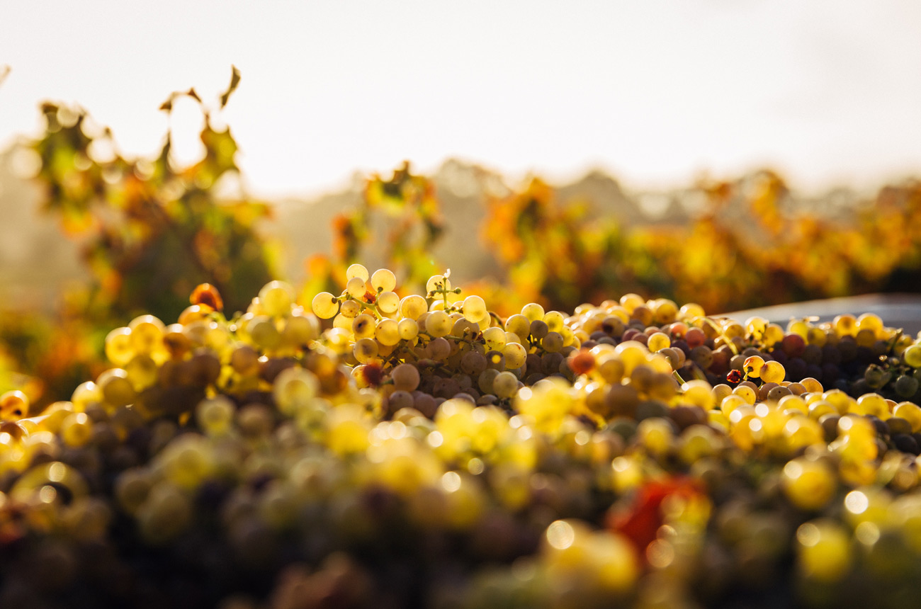 What's the difference between Muscat, Moscatel and Moscato? - Ask Decanter