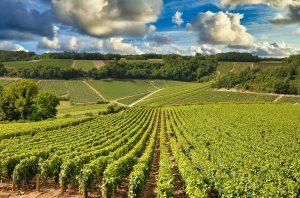 Vineyards in Chablis (2017)