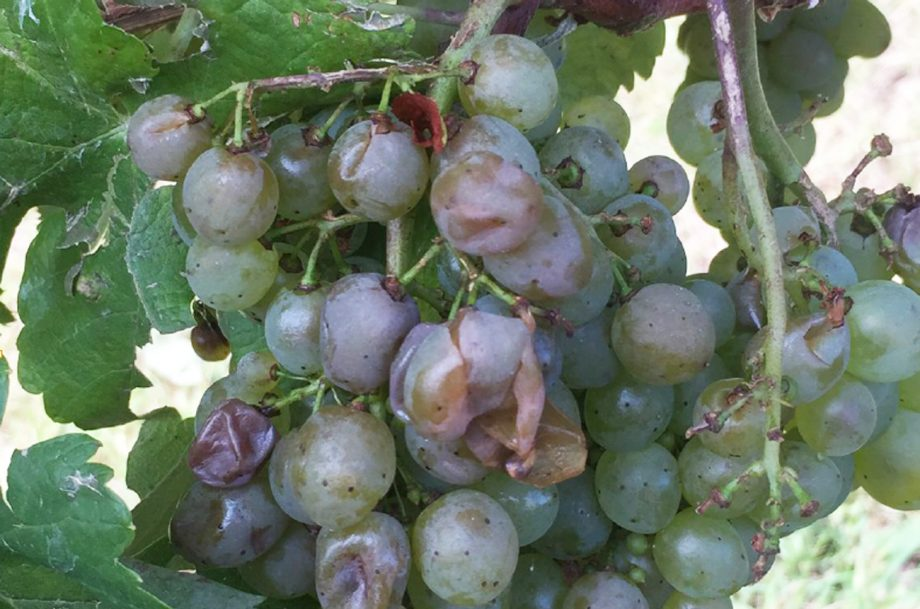 Grapes on a vine damaged by hail