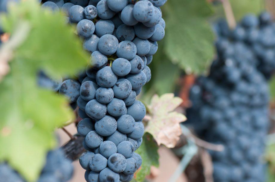 Two bunches of Tempranillo grape