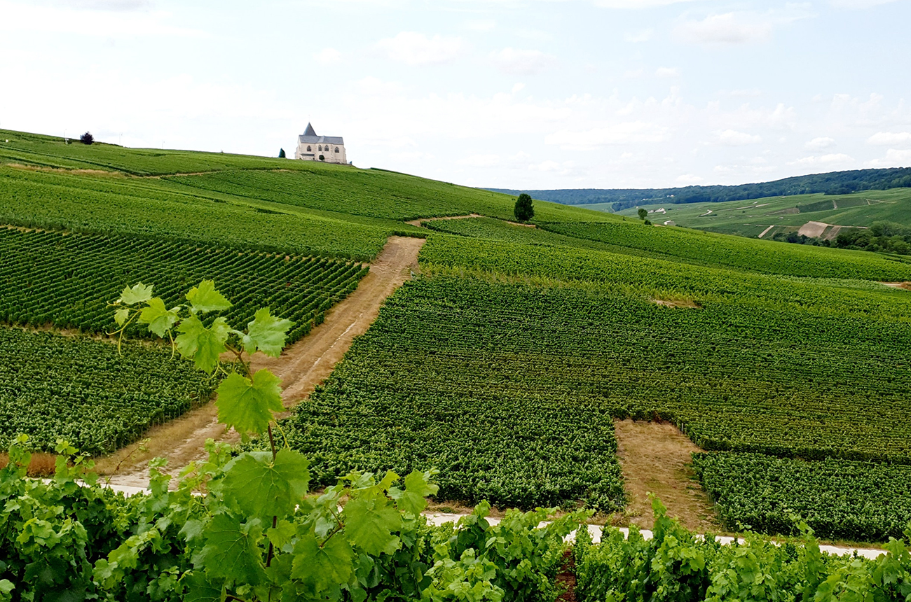 Champagne 2021 harvest: Picking nears end as growers weigh losses - Decanter