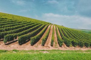 A view across vineyards