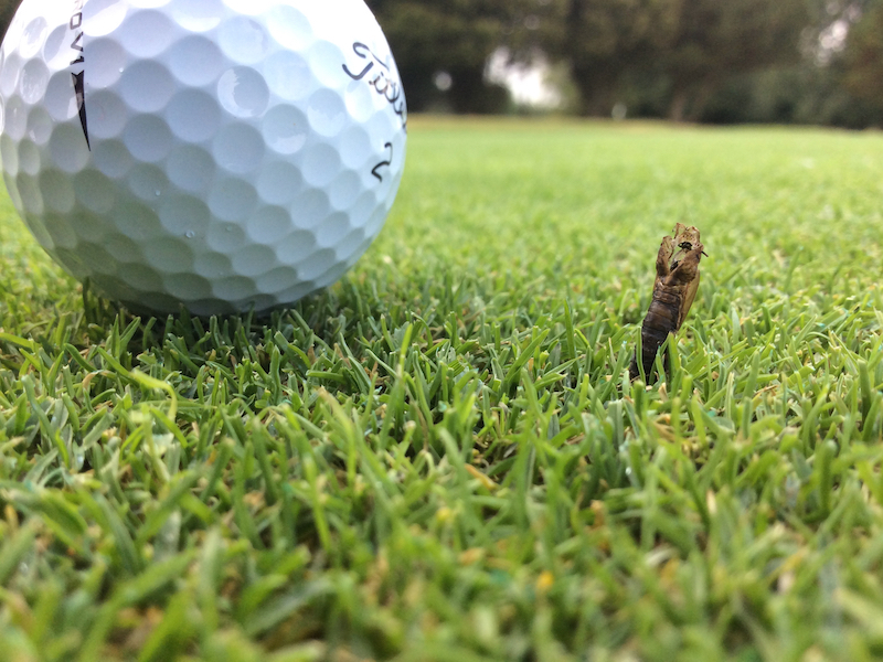 What Are Leatherjackets And Why Are They A Problem For Golf? - Golf Monthly