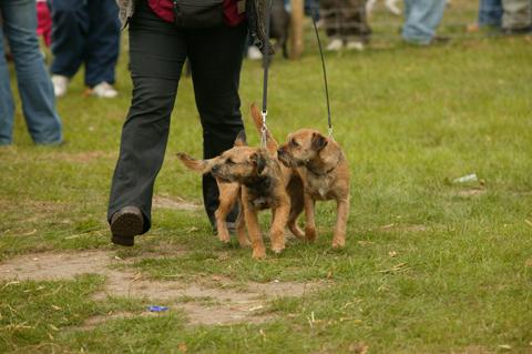 Midland terriers.