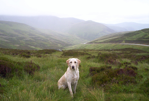 A labrador gundog in Scotland.