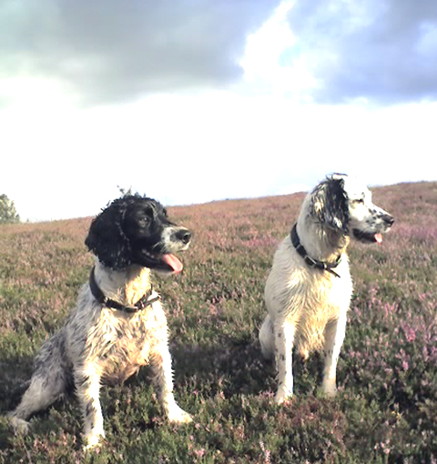 Two working springer spaniels from the New Forest.