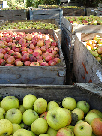 Apples harvested at the farm.