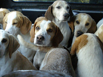 The beagles awaiting the off.