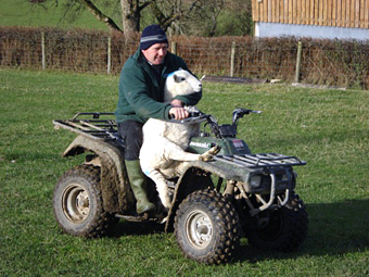 Aled giving a sheep a lift.