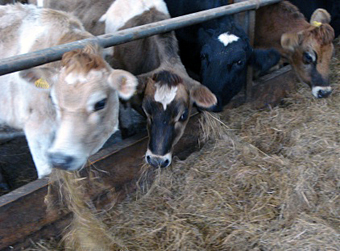 Jersey cows munching.