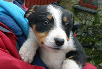 A sheepdog puppy.