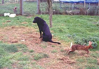 gun dog rabbit pen training.jpg