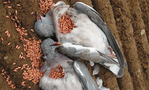 wood pigeons crop eating
