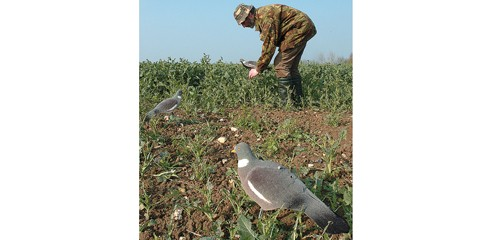 pigeon shooting picking up
