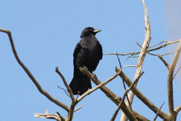 crow shooting