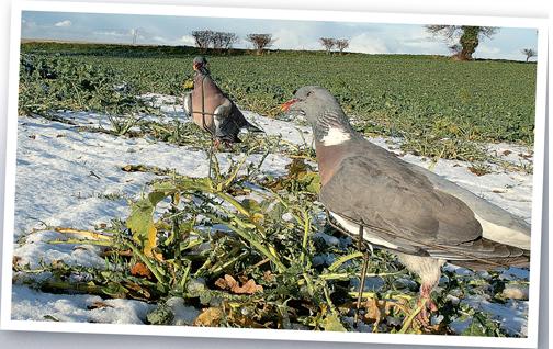 pigeon decoys on winter field